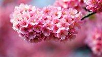 Цвітіння сакури у Закарпатті 795 грн